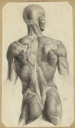 Nicolas Henri Jacob : Muscles du dos (étude). Dessin pour le Traité complet de l'anatomie de l'homme de J. M. Bourgery, 1831-1854. Paris, BIU Santé, cote : Ms81.