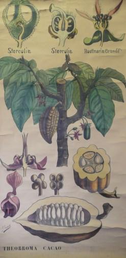 Le theobroma Cacao