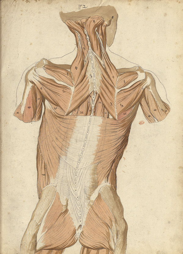 Myology of the back (Ms 27)