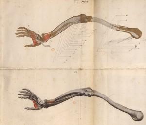 Myologie du bras (Ms 28)