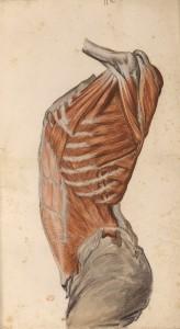Myologie du torse (Ms 28)
