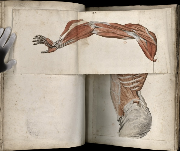 Myology of the torso and the arm with a movable part (Ms 28)