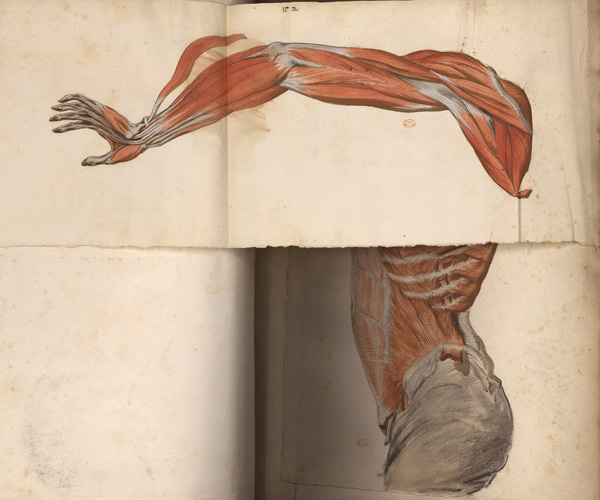 Myologie du torse et du bras avec volet mobile (Ms 28)