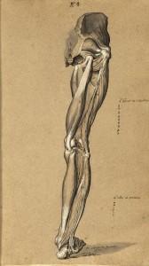 Myologie de la jambe (Ms 29)