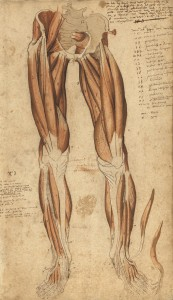 Myologie des membres inférieurs (Ms 29)
