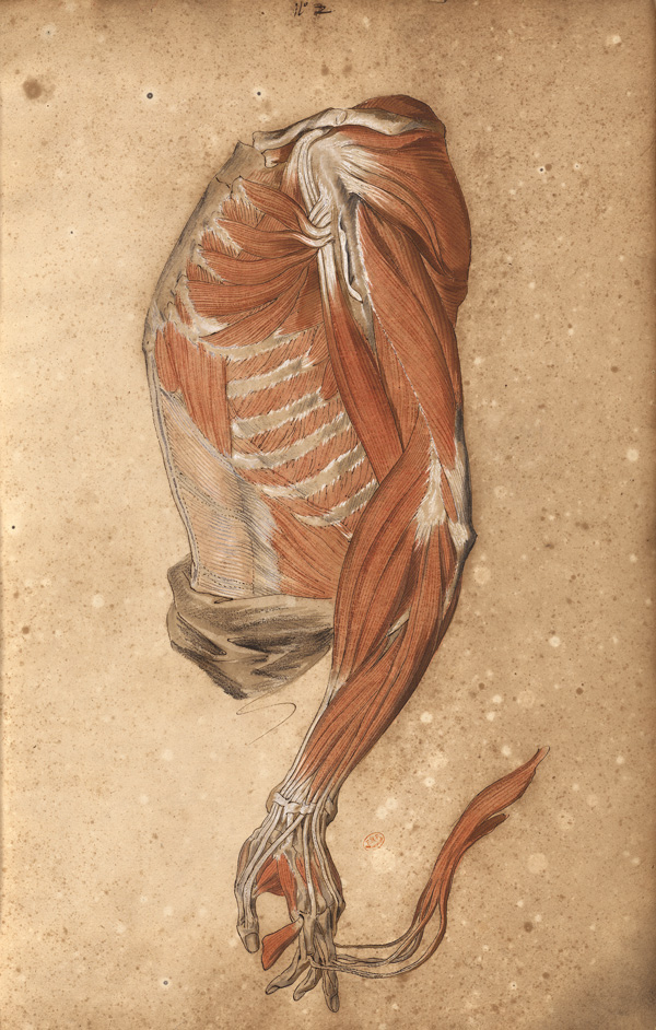 Myology of the torso seen from profile (Ms 28)