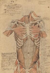 Myologie du torse vu de face (Ms 29)