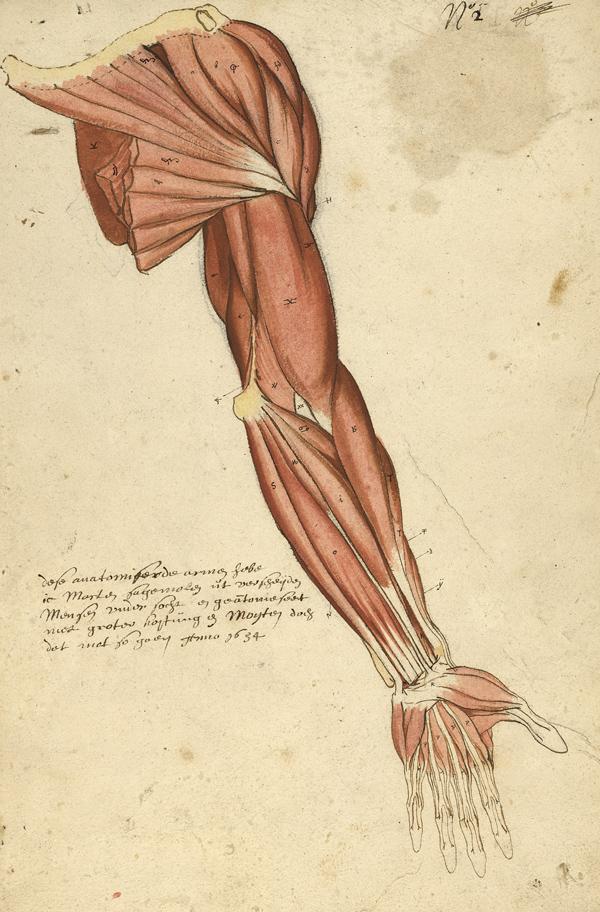 Petite myologie du bras et de l'épaule, datée de 1654 et signée par Marten Sagemolen (Ms 29)