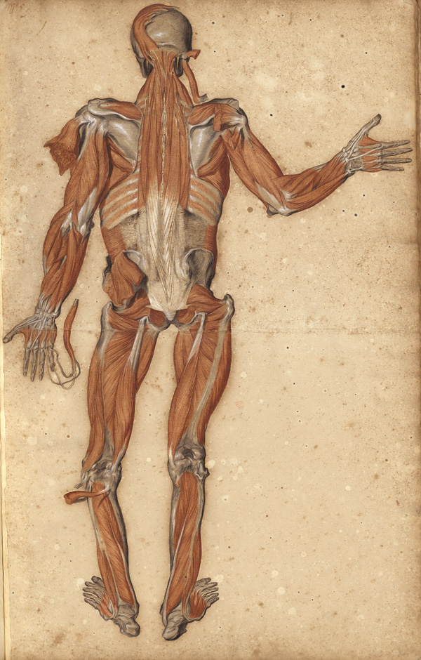 Large myology of the full body: back view (Ms 30)