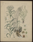 [Cochlearia armoracia] Raifort. [Cochlearia officinalis] Cochléaire officinale