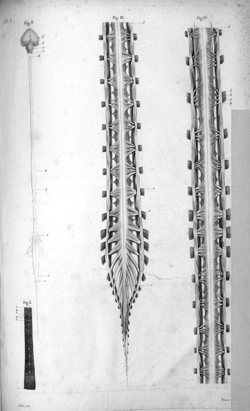 Pl. I. Fig. 1. Système nerveux d'une chenille / Fig. 2. Cerveau, cervelet et système nerveux de la c [...] - Anatomie. Neurologie. Moelle épinière. Animal, animaux. 19e siècle (France) - med00575x01x0305