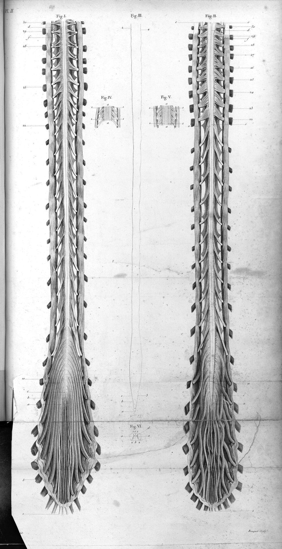Pl. II. Fig. 1. Face antérieure / Fig. 2. Face postérieure de la masse nerveuse de la colonne vertéb [...] - Anatomie. Neurologie. Moelle épinière. 19e siècle (France) - med00575x01x0307