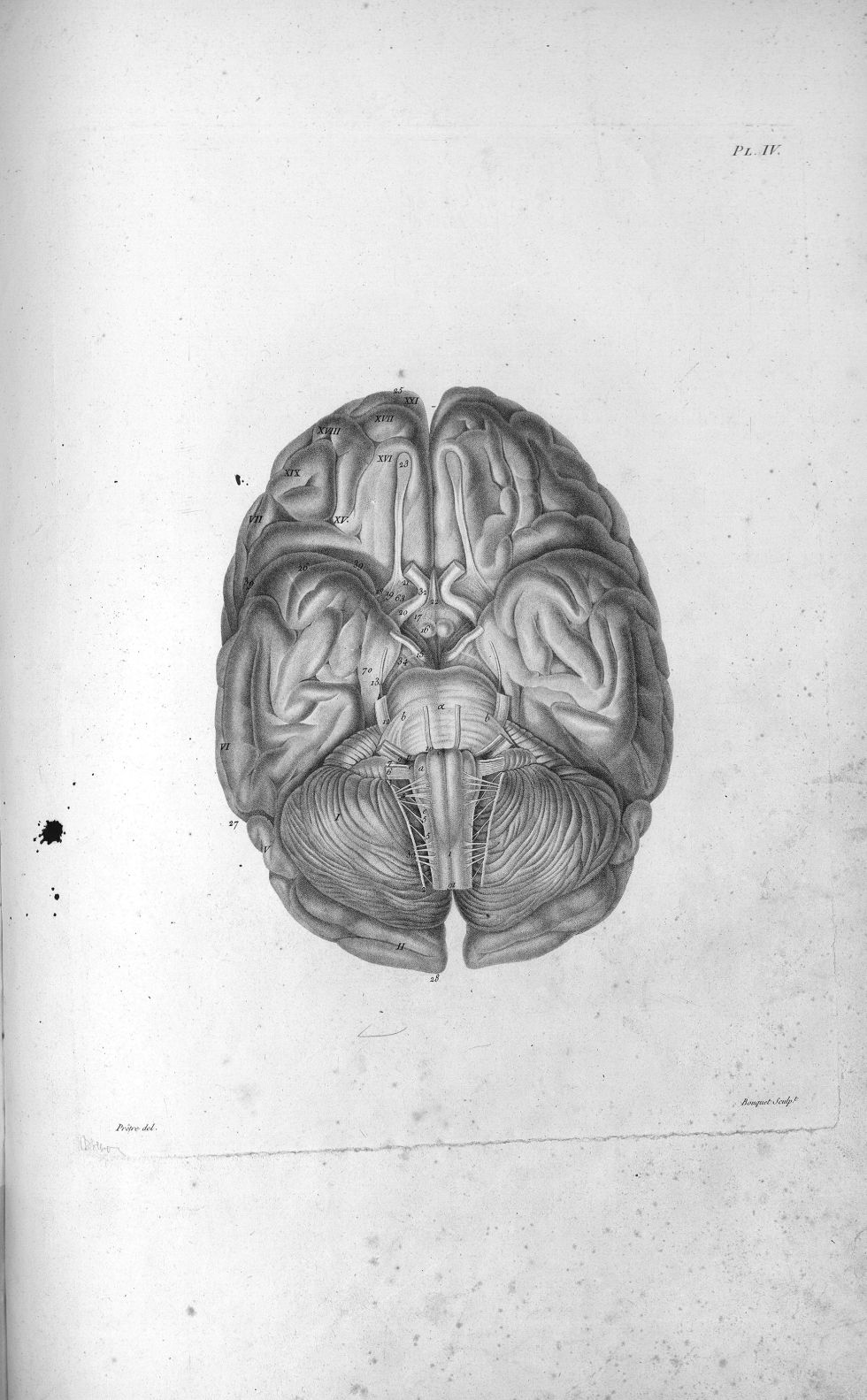 Pl. IV. Base d'un cerveau de femme - Anatomie et physiologie du système nerveux en général et du cer [...] - Anatomie. Neurologie. Cerveaux (têtes). 19e siècle (France) - med00575x01x0311