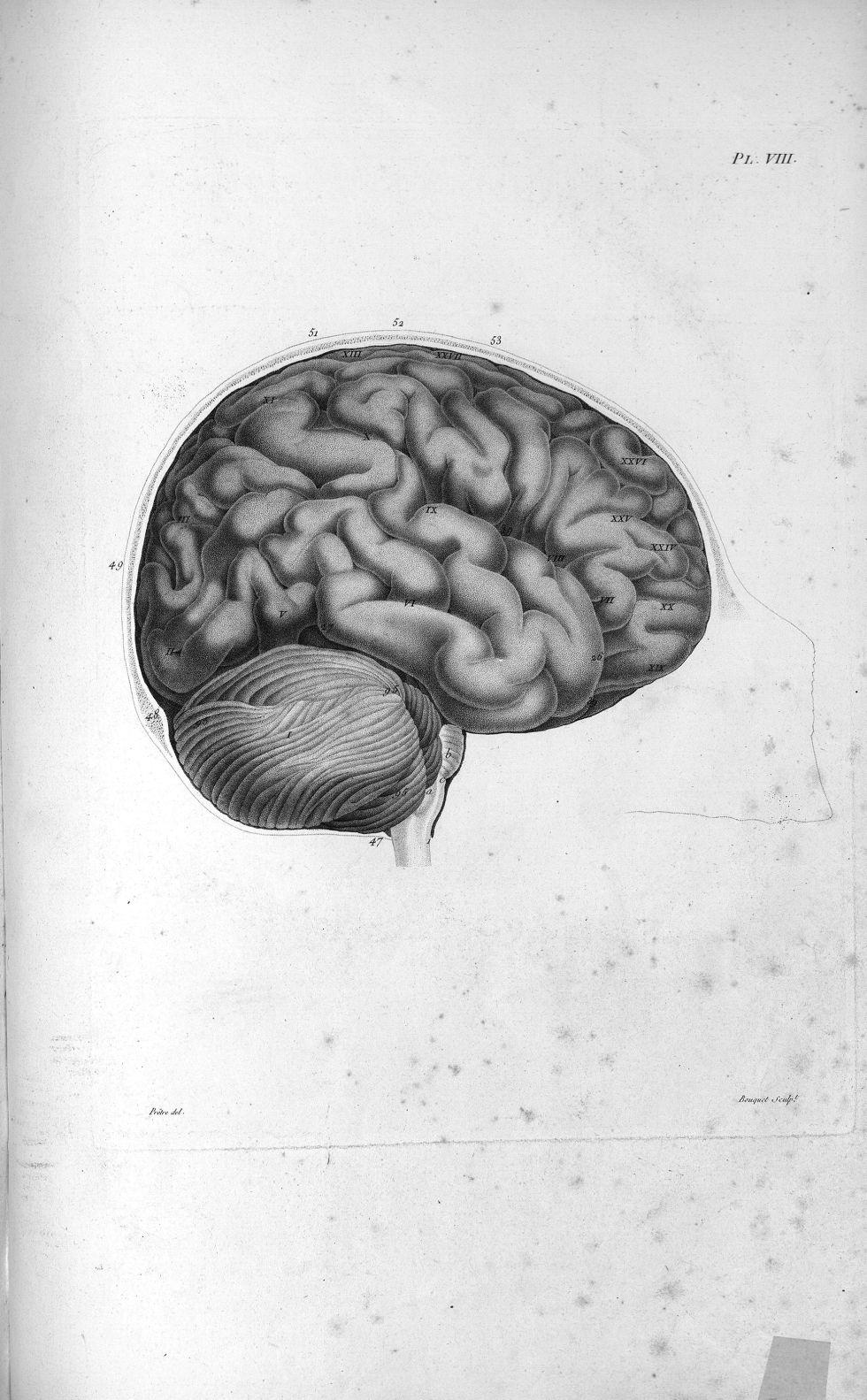Pl. VIII. Crâne scié verticalement par le milieu du front (cerveau de femme) - Anatomie et physiolog [...] - Anatomie. Neurologie. Cerveaux, crânes (têtes). 19e siècle (France) - med00575x01x0319