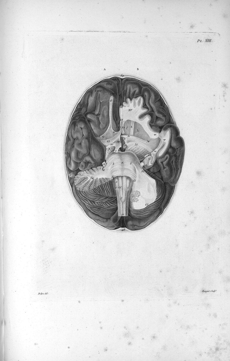 Pl. XIII. Grande réunion du cervelet ; réunion des circonvolutions antérieures du lobe moyen ; réuni [...] - Anatomie. Neurologie. Cerveaux, crânes (têtes). 19e siècle (France) - med00575x01x0329