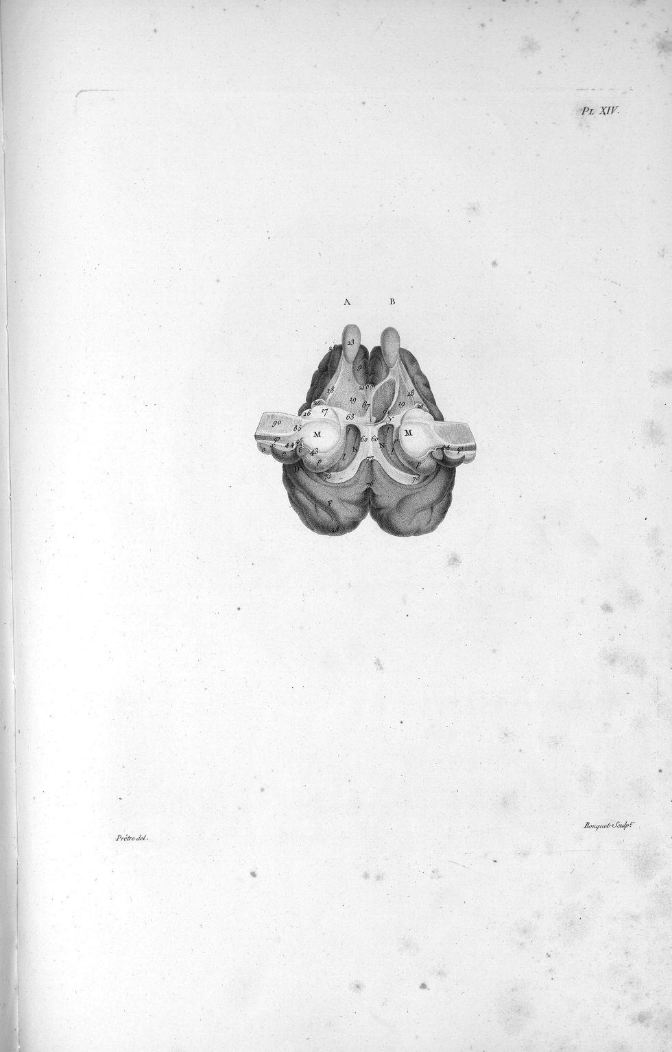 Pl. XIV. Cerveau de mouton posé sur sa face supérieure - Anatomie et physiologie du système nerveux  [...] - Anatomie. Neurologie. Cerveaux (têtes). Animal, animaux. 19e siècle (France) - med00575x01x0331