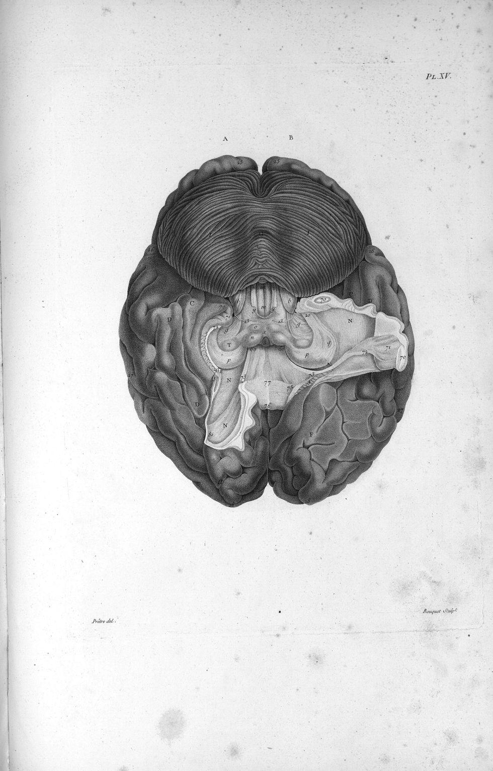 Pl. XV. Cerveau humain posé sur sa face supérieure - Anatomie et physiologie du système nerveux en g [...] - Anatomie. Neurologie. Cerveaux (têtes). 19e siècle (France) - med00575x01x0333