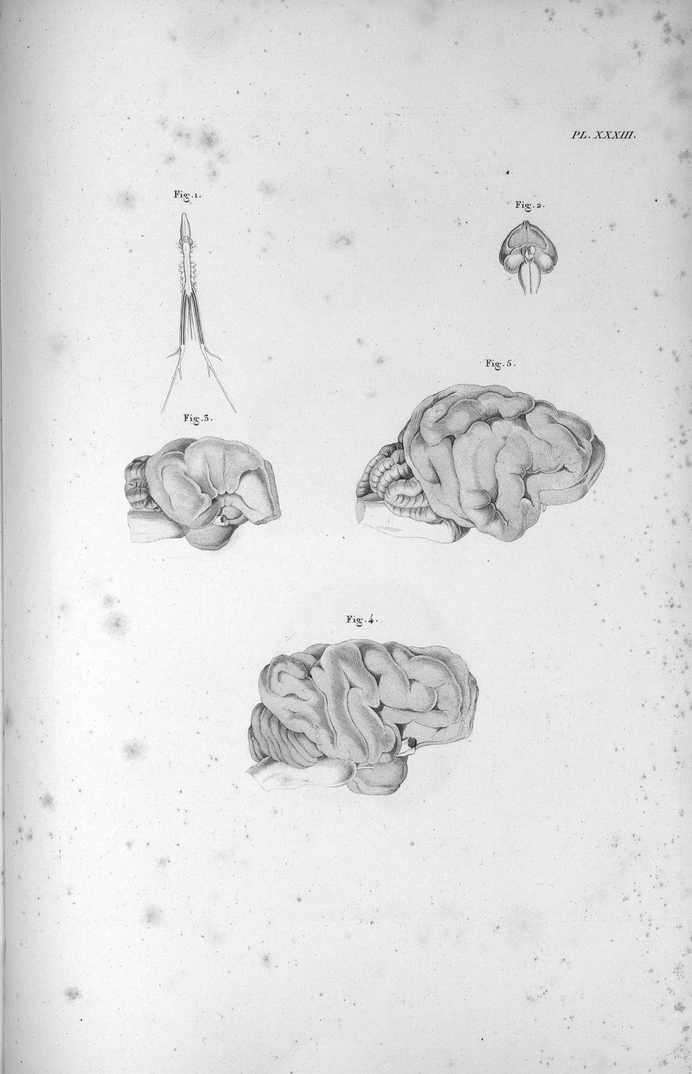 Pl. XXXIII. Fig. 1. Cerveau et moëlle épinière de la grenouille / Fig. 2. Cerveau d'une poule / Fig. [...] - Anatomie. Neurologie. Cerveaux. Animal, animaux. 19e siècle (France) - med00575x02x0361