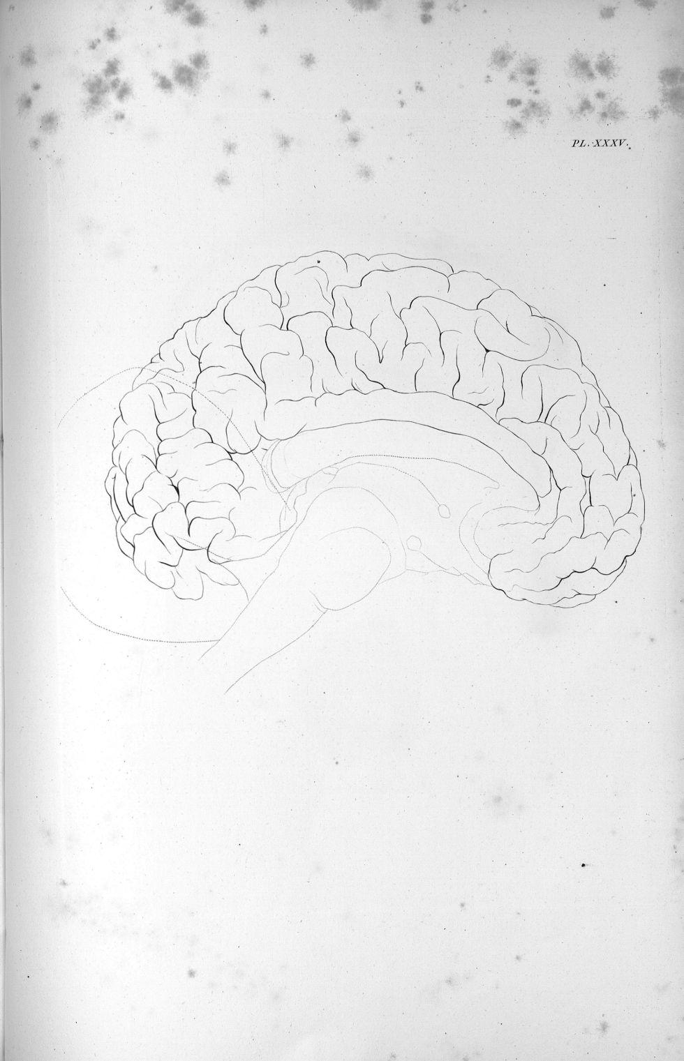 Pl. XXXV. Cerveau de l'éléphant - Anatomie et physiologie du système nerveux en général et du cervea [...] - Anatomie. Neurologie. Cerveaux. Animal, animaux. 19e siècle (France) - med00575x02x0365