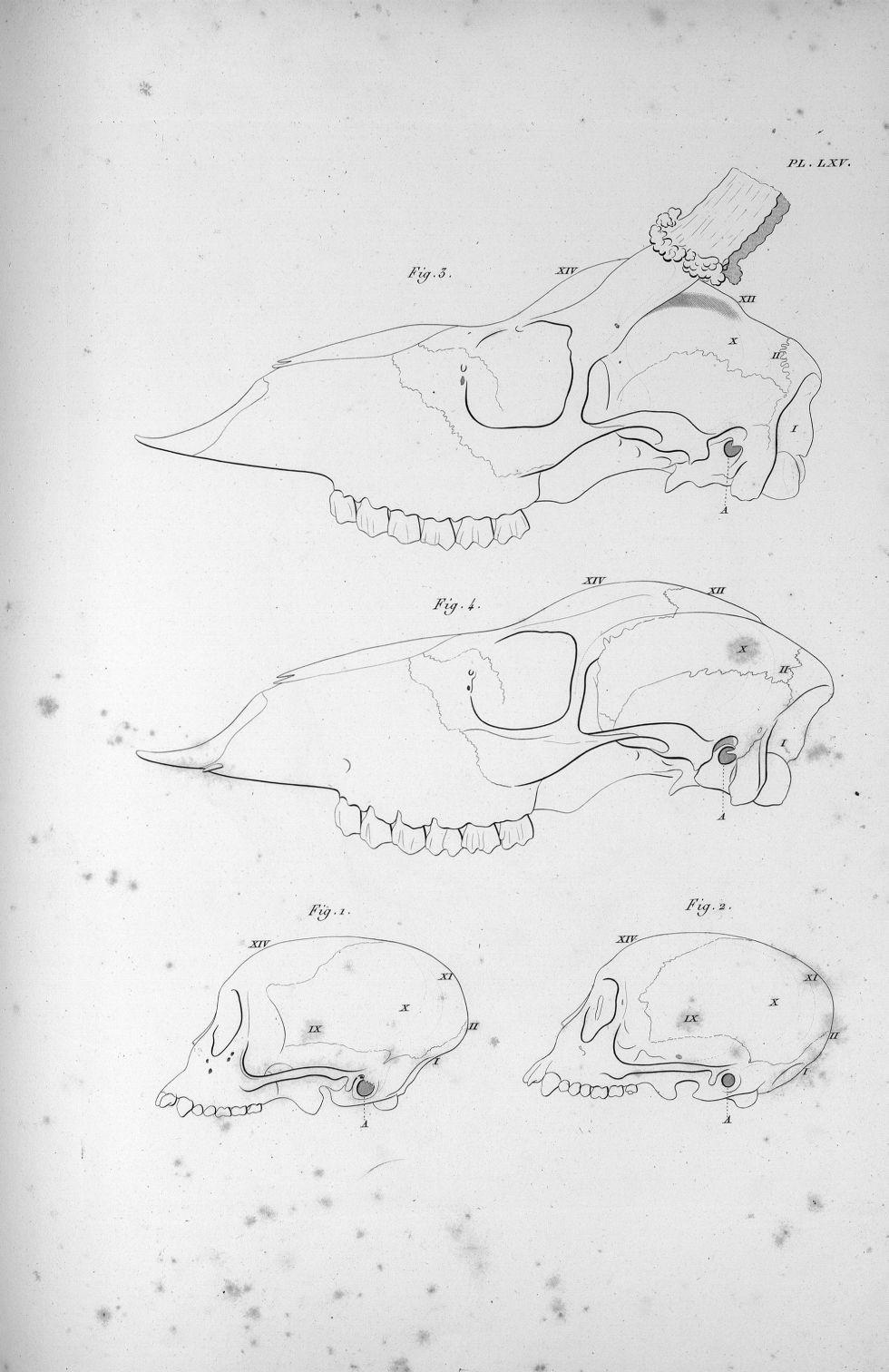 Pl. LXV. Fig. 1. Crâne d'un singe mâle / Fig. 2. D'un singe femelle / Fig. 3. Du chevreuil / Fig. 4. [...] - Anatomie. Neurologie. Crânes. Animal, animaux. Phrénologie. 19e siècle (France) - med00575x03x0321