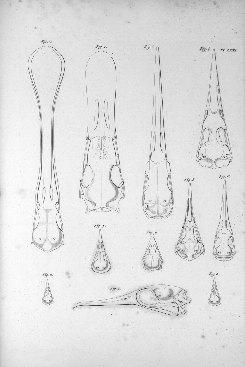 Pl. LXXI. Fig. 1. Crâne de cygne / Fig. 2. Du cormoran / Fig. 3. Du héron / Fig. 4. De la mouette /  [...] - Anatomie. Neurologie. Crânes. Animal, animaux. Oiseaux. Phrénologie. 19e siècle (France) - med00575x03x0327