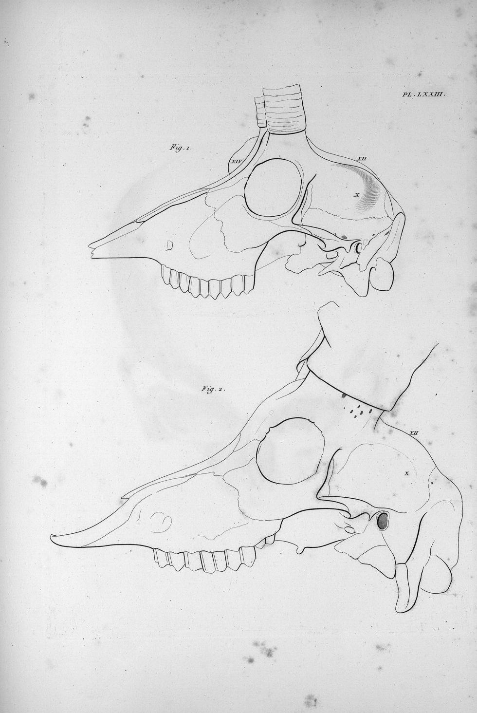 Pl. LXXIII. Fig. 1. Crâne du chamois / fig. 2. Du bouquetin - Anatomie et physiologie du système ner [...] - Anatomie. Neurologie. Crânes. Animal, animaux. Phrénologie. 19e siècle (France) - med00575x03x0331