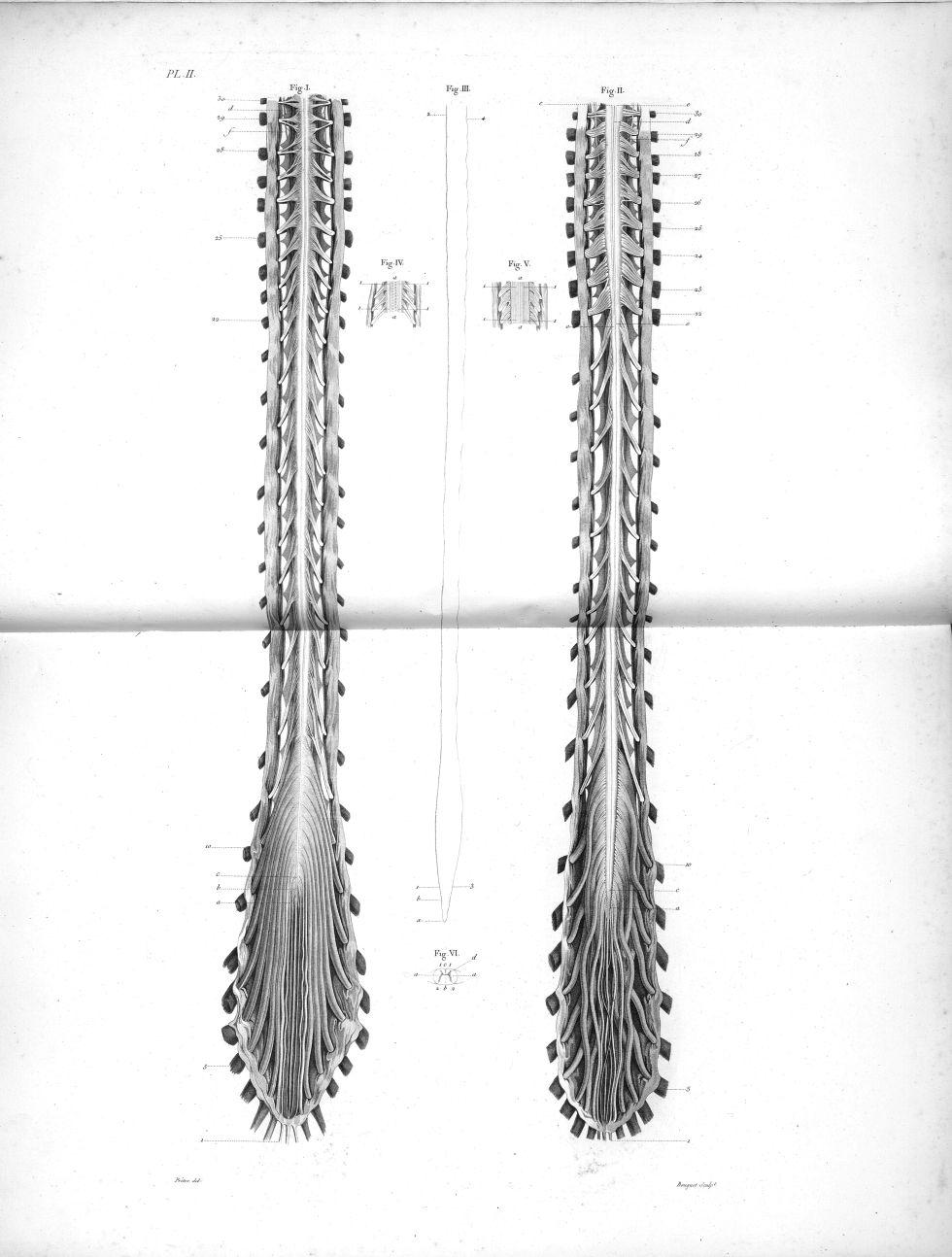 Pl. II. Fig. 1. Face antérieure / Fig. 2. Face postérieure de la masse nerveuse de la colonne vertéb [...] - Anatomie. Neurologie. Moelle épinière. 19e siècle (France) - med00575xatlasx0012
