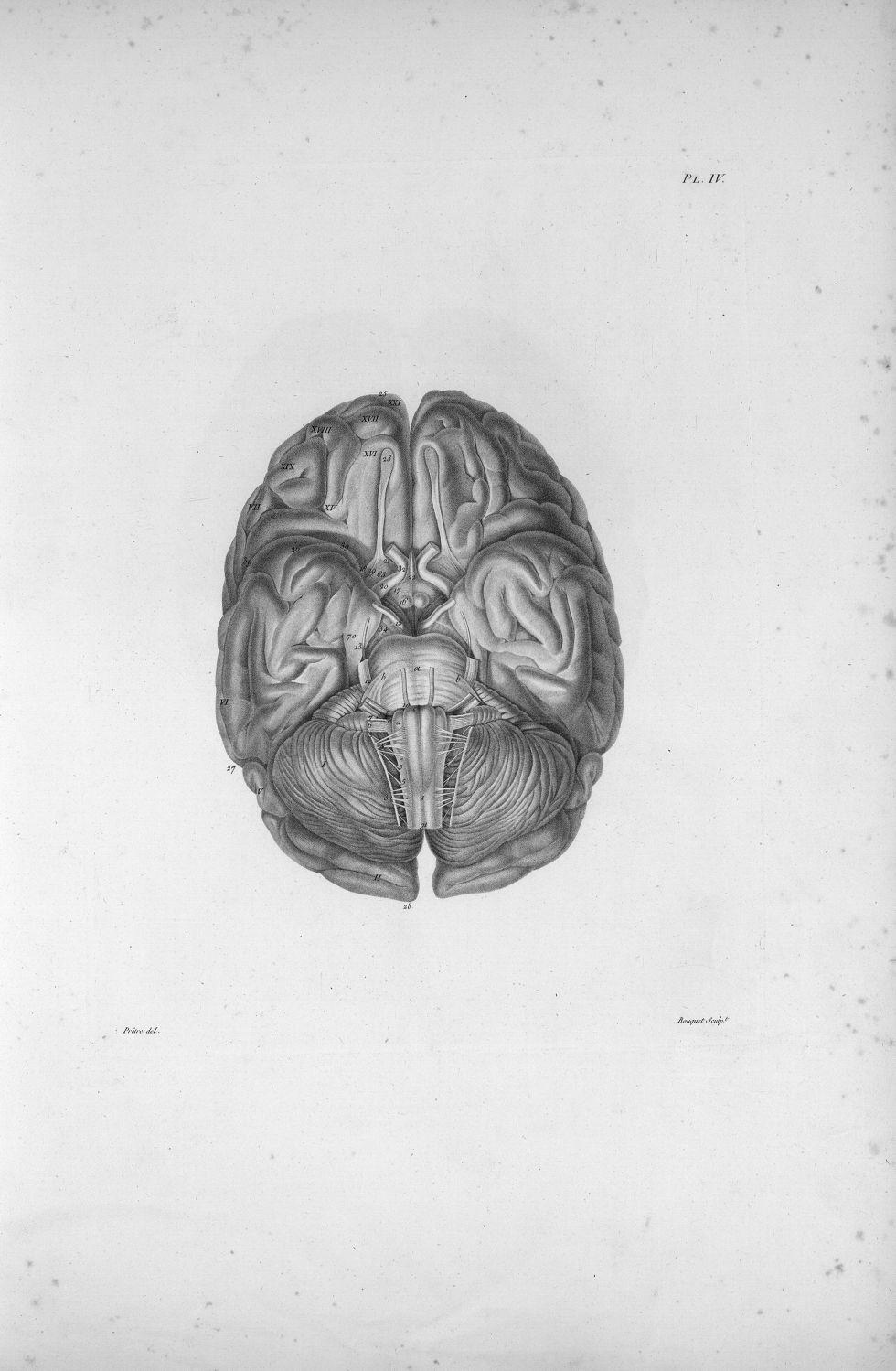 Pl. IV. Base d'un cerveau de femme - Anatomie et physiologie du système nerveux en général et du cer [...] - Anatomie. Neurologie. Cerveaux (têtes). 19e siècle (France) - med00575xatlasx0014