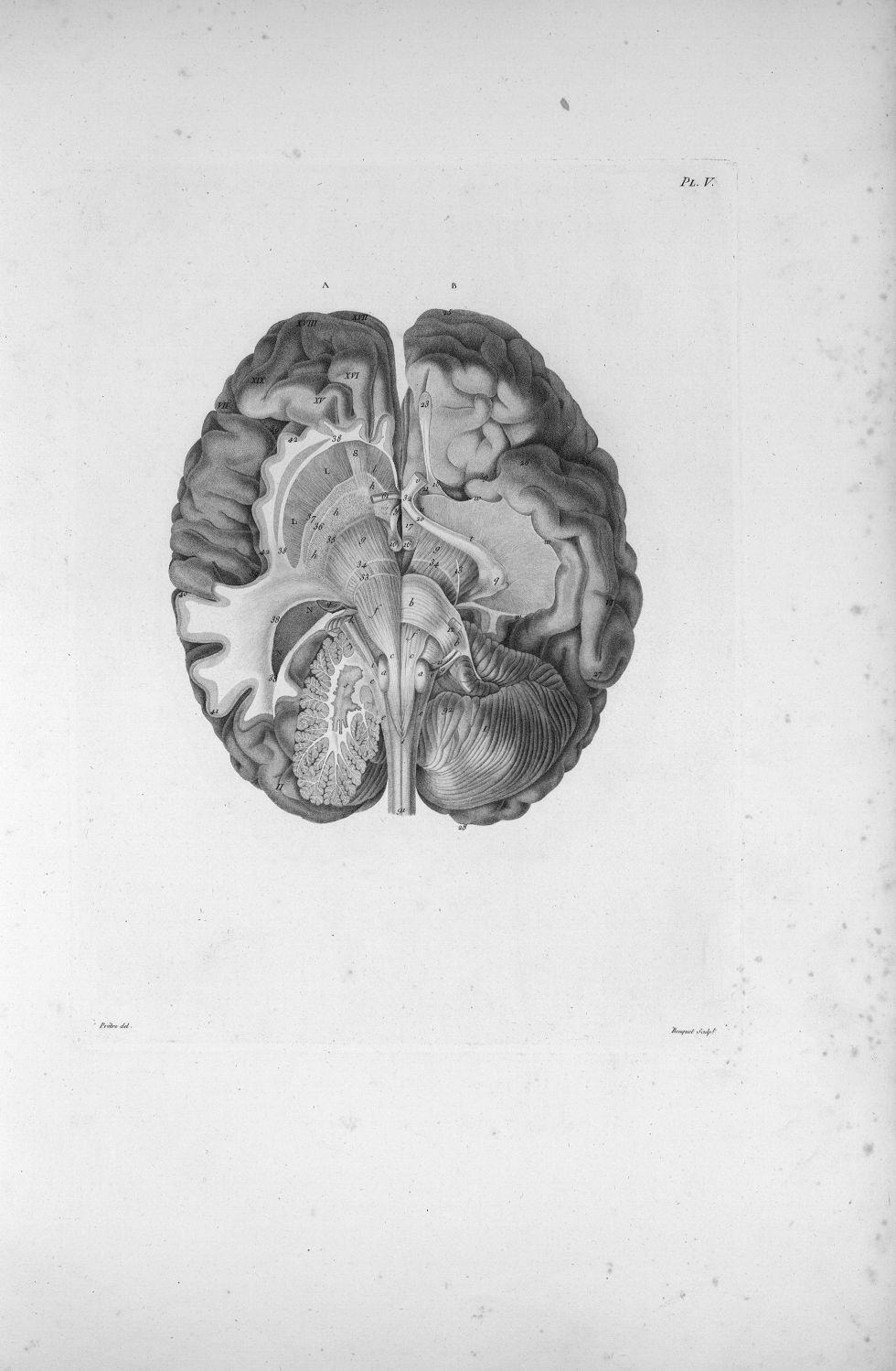 Pl. V. Représentation du cervelet et d'une partie de la base du cerveau - Anatomie et physiologie du [...] - Anatomie. Neurologie. Cerveaux (têtes). 19e siècle (France) - med00575xatlasx0015