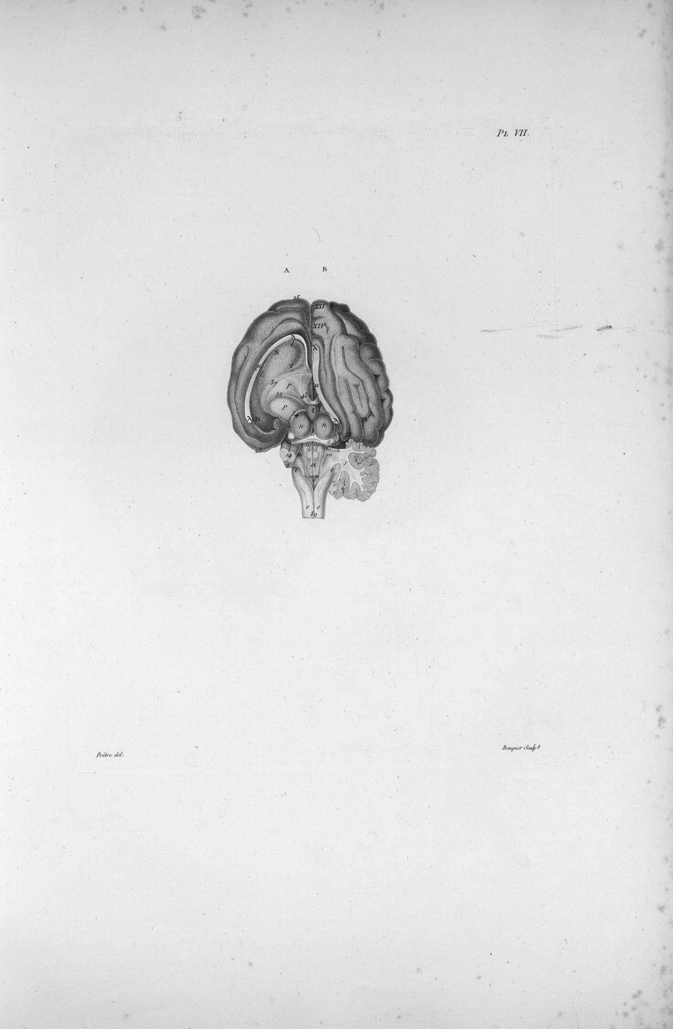 Pl. VII. Cerveau de mouton posé sur sa base - Anatomie et physiologie du système nerveux en général  [...] - Anatomie. Neurologie. Cerveaux (têtes). Animal, animaux. 19e siècle (France) - med00575xatlasx0017