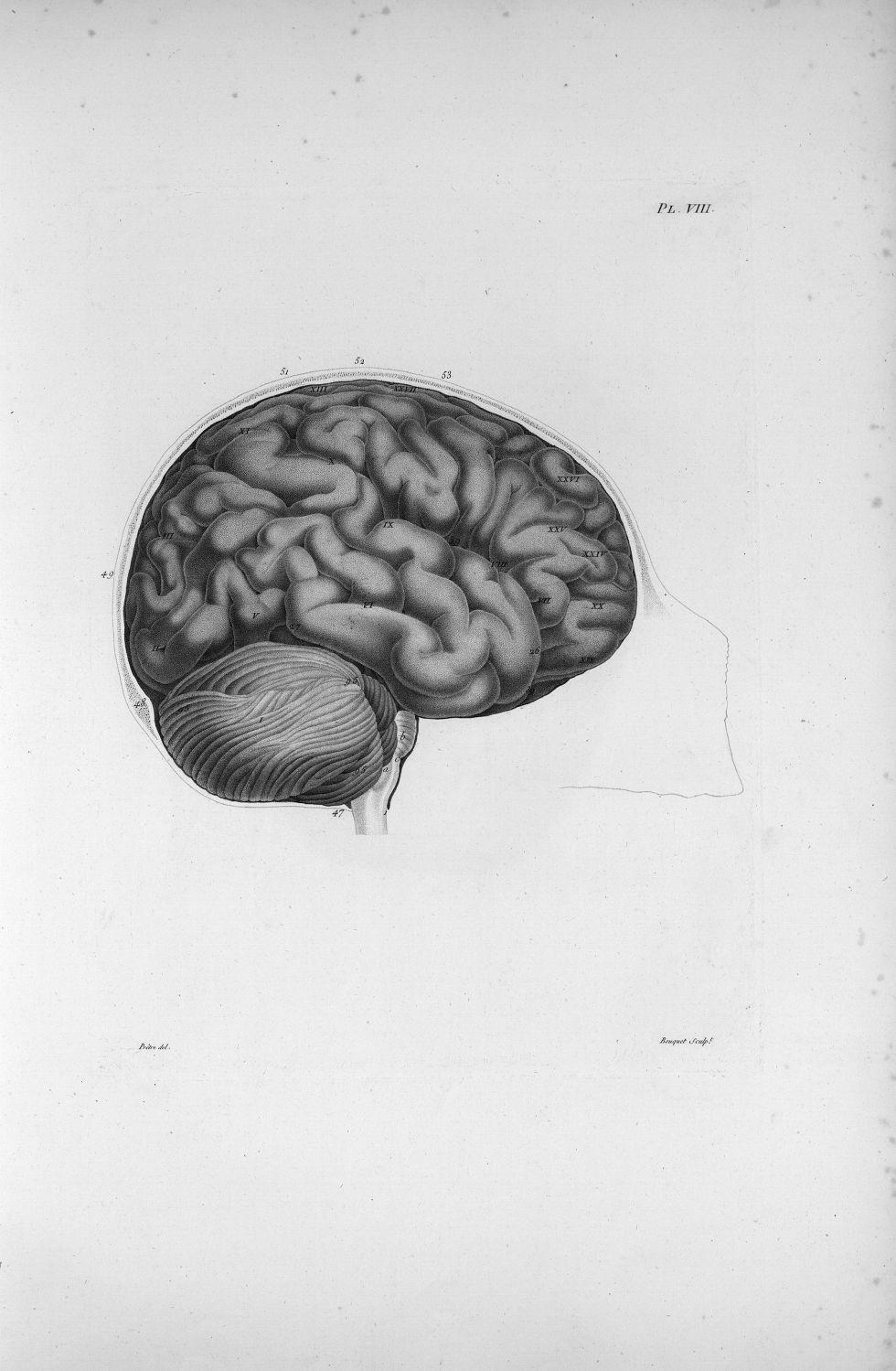 Pl. VIII. Crâne scié verticalement par le milieu du front (cerveau de femme) - Anatomie et physiolog [...] - Anatomie. Neurologie. Cerveaux, crânes (têtes). 19e siècle (France) - med00575xatlasx0018