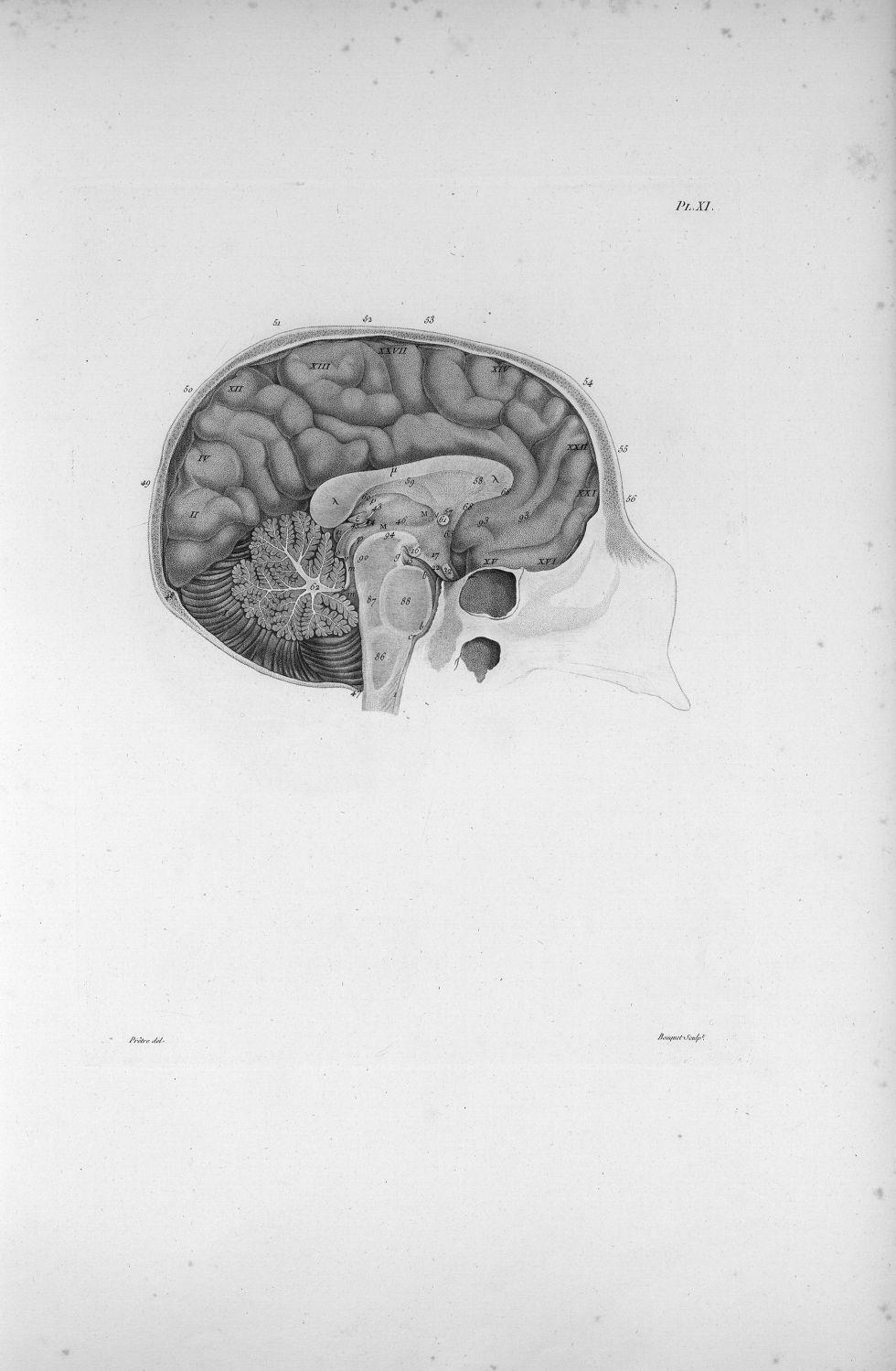 Pl. XI. Crâne, cervelet et cerveau séparés verticalement dans la ligne médiane (cerveau d'homme) - A [...] - Anatomie. Neurologie. Cerveaux, crânes (têtes). 19e siècle (France) - med00575xatlasx0021