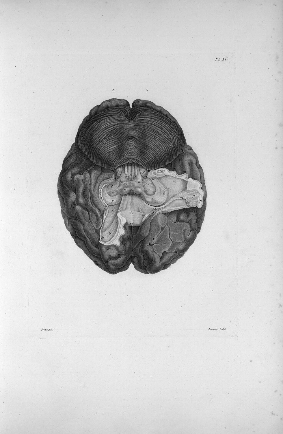 Pl. XV. Cerveau humain posé sur sa face supérieure - Anatomie et physiologie du système nerveux en g [...] - Anatomie. Neurologie. Cerveaux (têtes). 19e siècle (France) - med00575xatlasx0025