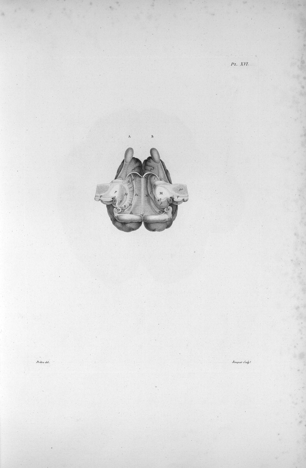 Pl. XVI. Cerveau de mouton posé sur la face supérieure - Anatomie. Neurologie. Cerveaux (têtes). Animal, animaux. 19e siècle (France) - med00575xatlasx0026