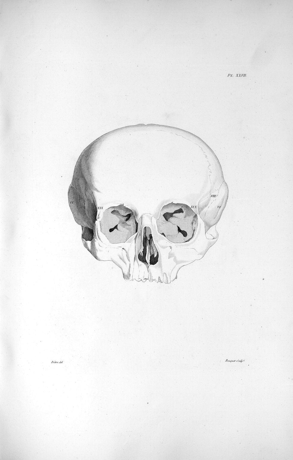 Pl. XXVII. Crâne d'une femme publique, passionnée pour le vol, morte dans la prison de Grätz en Stir [...] - Anatomie. Neurologie. Crânes. Phrénologie. 19e siècle (France) - med00575xatlasx0037