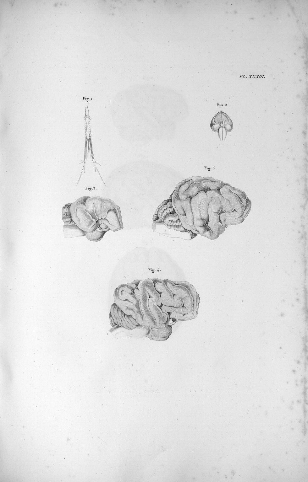 Pl. XXXIII. Fig. 1. Cerveau et moëlle épinière de la grenouille / Fig. 2. Cerveau d'une poule / Fig. [...] - Anatomie. Neurologie. Cerveaux. Animal, animaux. 19e siècle (France) - med00575xatlasx0043