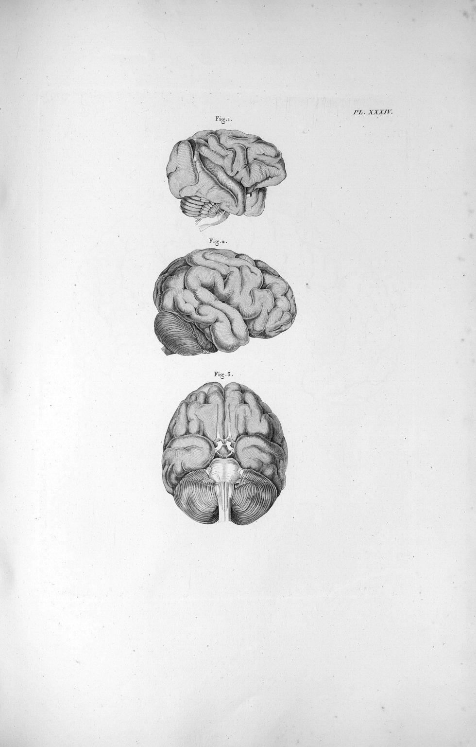 Pl. XXXIV. Fig. 1. Cerveau du singe (Rhésus-patas) / Fig. 2. Cerveau de l'orang-outang, vu de côté / [...] - Anatomie. Neurologie. Cerveaux. Animal, animaux. 19e siècle (France) - med00575xatlasx0044