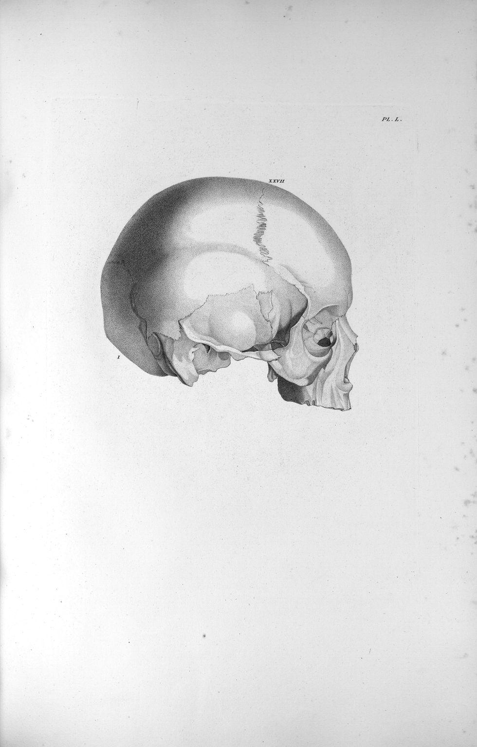 Pl. L. Crâne très-petit d'une dévote superstitieuse et en même temps très-voluptueuse, avec un très- [...] - Anatomie. Neurologie. Crânes. Phrénologie. 19e siècle (France) - med00575xatlasx0060