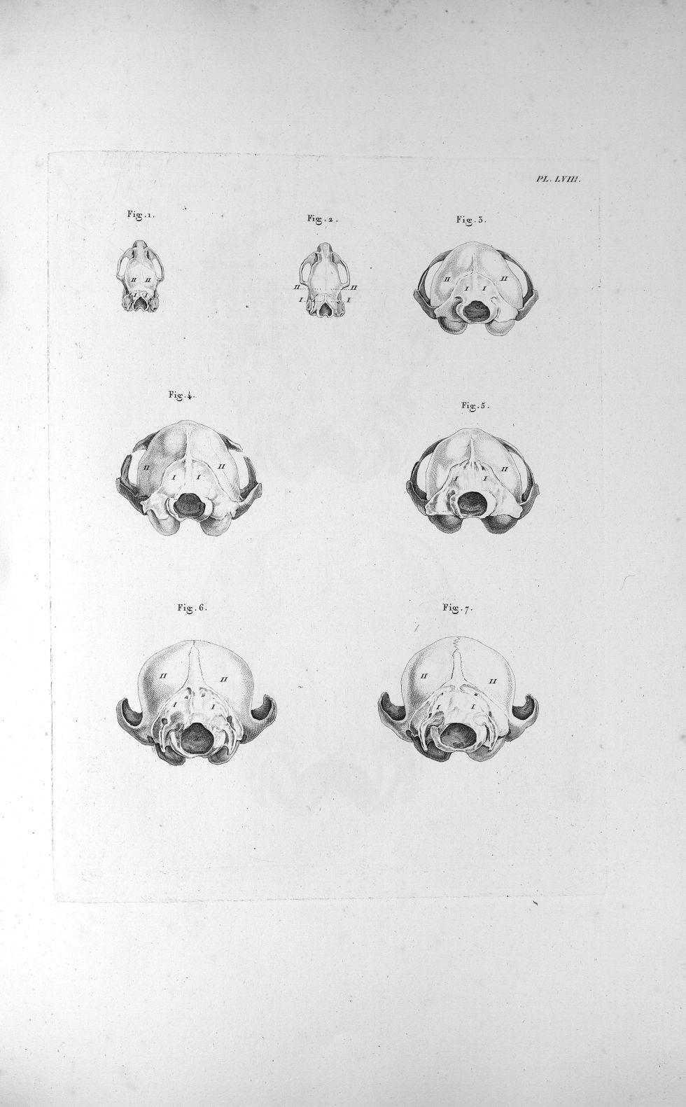 Pl. LVIII. Fig. 1. Crâne du rat de prés, femelle / Fig. 2. Du rat de prés, mâle / Fig. 3. De la chat [...] - Anatomie. Neurologie. Crânes. Animal, animaux. 19e siècle (France) - med00575xatlasx0068