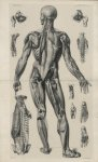 Planche 6. Myologie. Plan postérieur. Couches profondes - [Anatomie élémentaire en 20 planches... av [...]