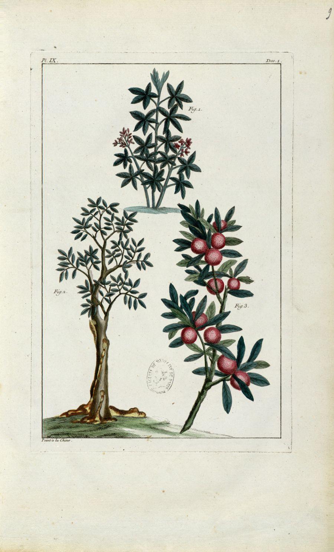 Planche IX - Herbier ou collection des plantes médicinales de la Chine d'après un manuscrit peint et [...] - Botanique. Plantes (médecine). Chine. 18e siècle - med01989x0012