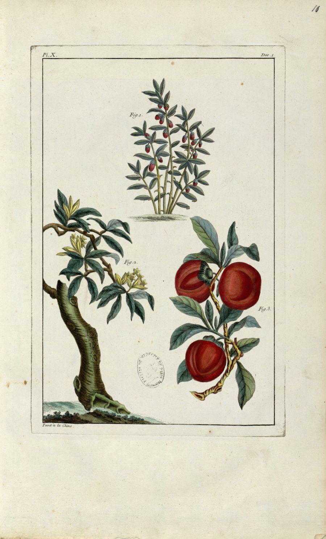 Planche X - Herbier ou collection des plantes médicinales de la Chine d'après un manuscrit peint et  [...] - Botanique. Plantes (médecine). Chine. 18e siècle - med01989x0013