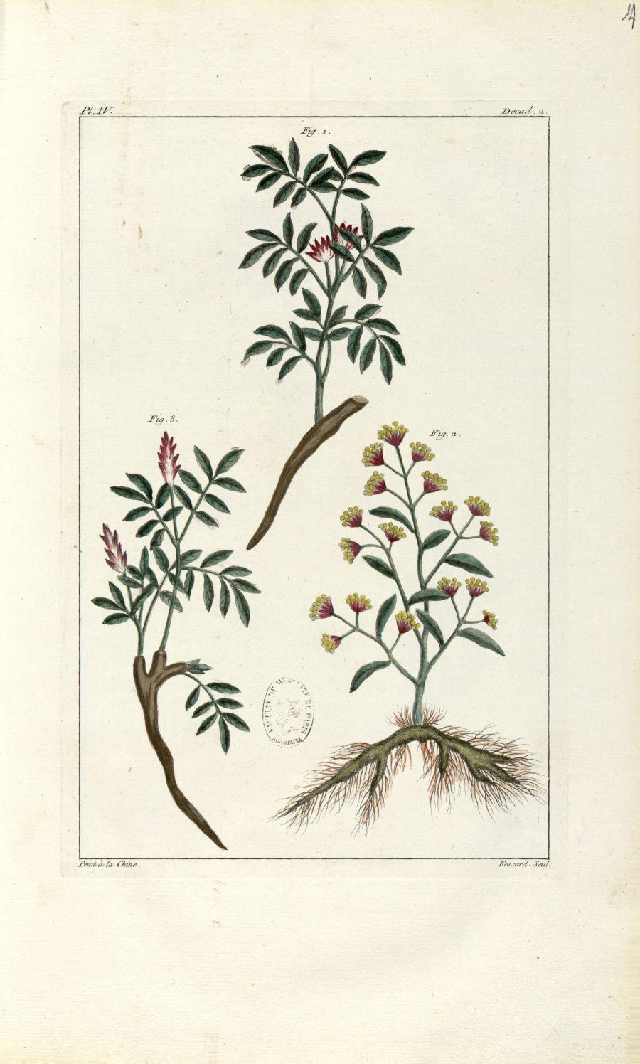Planche IV. Decad. 2 - Herbier ou collection des plantes médicinales de la Chine d'après un manuscri [...] - Botanique. Plantes (médecine). Chine. 18e siècle - med01989x0017