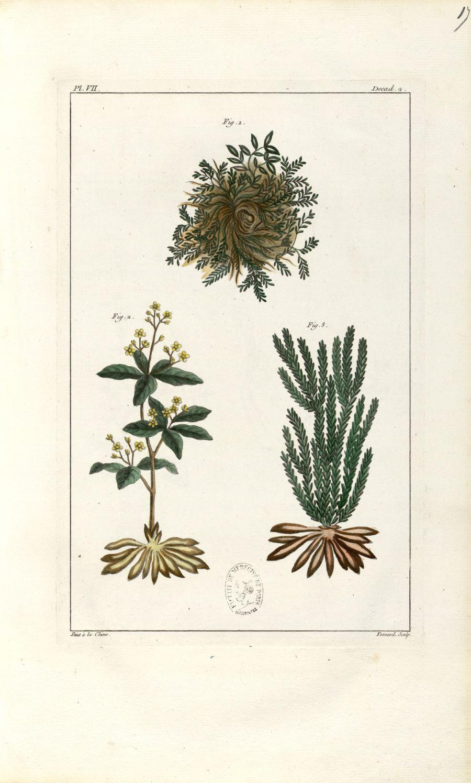 Planche VII. Decad. 2 - Herbier ou collection des plantes médicinales de la Chine d'après un manuscr [...] - Botanique. Plantes (médecine). Chine. 18e siècle - med01989x0020