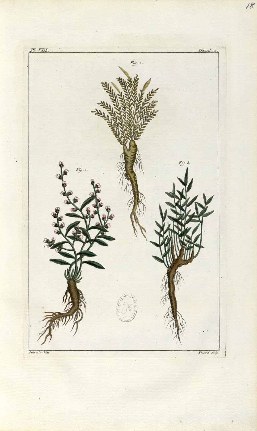 Planche VIII. Decad. 2 - Herbier ou collection des plantes médicinales de la Chine d'après un manusc [...] - Botanique. Plantes (médecine). Chine. 18e siècle - med01989x0021