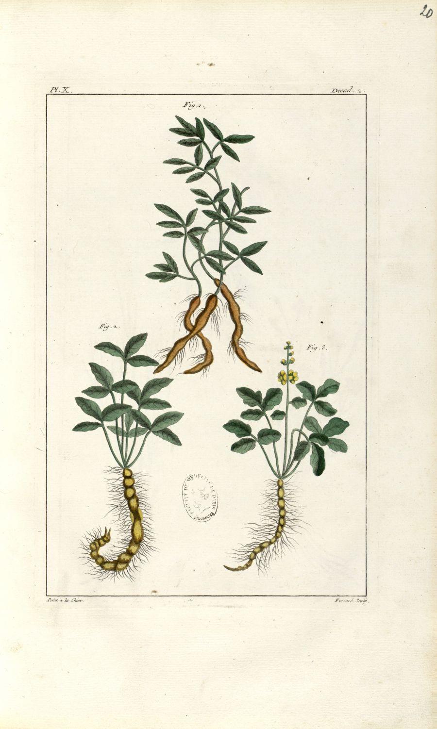 Planche X. Decad. 2 - Herbier ou collection des plantes médicinales de la Chine d'après un manuscrit [...] - Botanique. Plantes (médecine). Chine. 18e siècle - med01989x0023