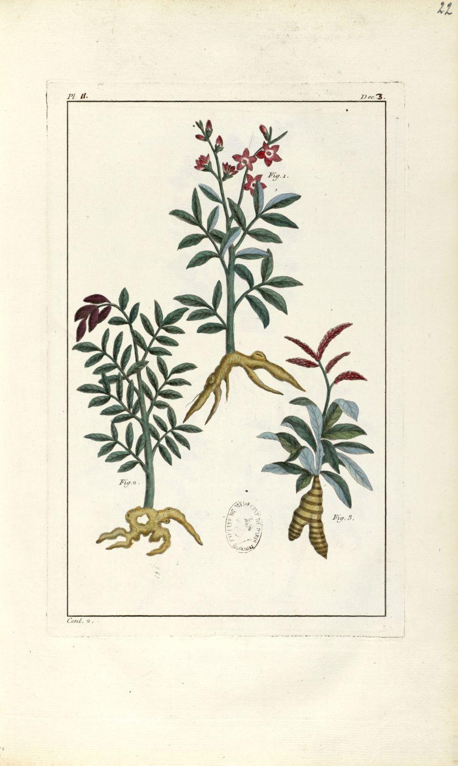 Planche II. Dec. 3. Cent. 2 - Herbier ou collection des plantes médicinales de la Chine d'après un m [...] - Botanique. Plantes (médecine). Chine. 18e siècle - med01989x0025