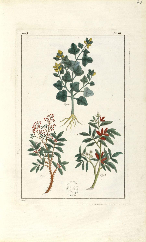 Planche III. Dec. 3. Cent. 2 - Herbier ou collection des plantes médicinales de la Chine d'après un  [...] - Botanique. Plantes (médecine). Chine. 18e siècle - med01989x0026