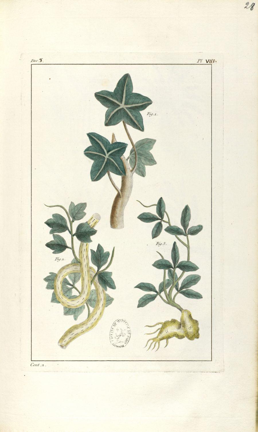 Planche VIII. Dec. 3. Cent. 2 - Herbier ou collection des plantes médicinales de la Chine d'après un [...] - Botanique. Plantes (médecine). Chine. 18e siècle - med01989x0031