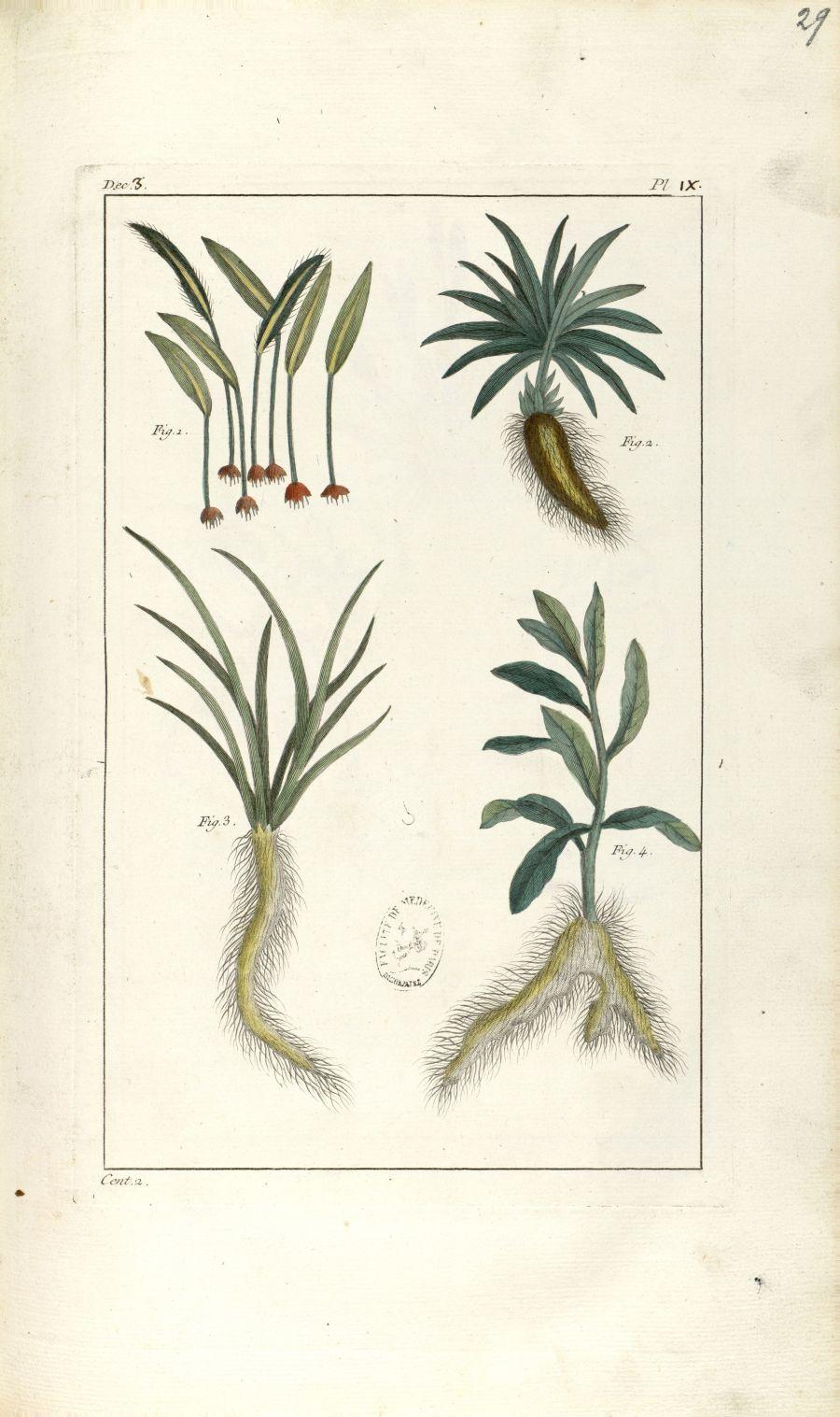 Planche IX. Dec. 3. Cent. 2 - Herbier ou collection des plantes médicinales de la Chine d'après un m [...] - Botanique. Plantes (médecine). Chine. 18e siècle - med01989x0032